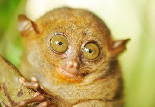 Es un pequeño primate que tiene los ojos más grandes que el cerebro.