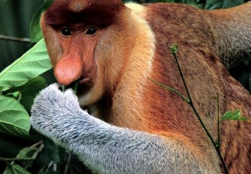 Por su peculiar nariz, este mono también está en la mayoría de los rankings de animales feos.