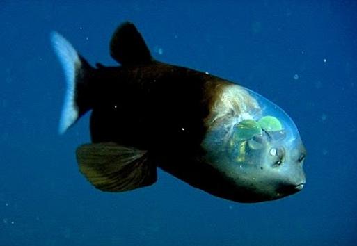 Por lo general, los peces no son animales demasiado agraciados, pero cuando encima tienen cabeza tan visible… este animal observa a sus presas como si fuera una cabina de avión.