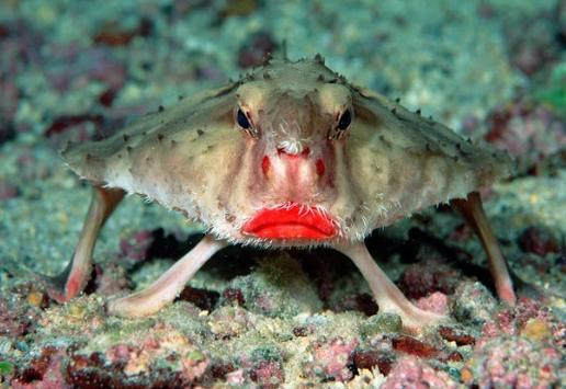pez_murciélago