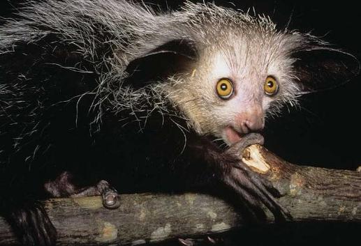 """Su nombre significa """"espíritu nocturno"""" y es un primate emparentado con el lemur."""