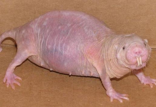 ¡Y finalmente, la horrible combinación entre una rata (sin pelo) y un topo, se lleva el premio al animal más feo! ¿No os parece?