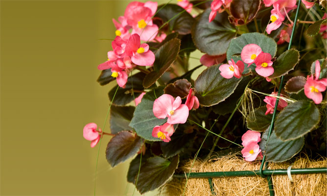 2385340627001_2927013586001_BRICO-JARDIN-766-Begonias-colgantes-xl.jpg