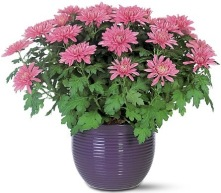 Chrysantheium-morifolium 2.jpg