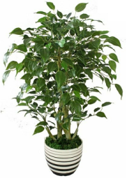 ficus-tree.png